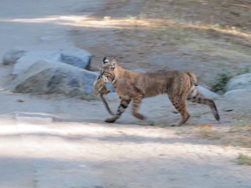 bobcat, mary anne johnson, oakley
