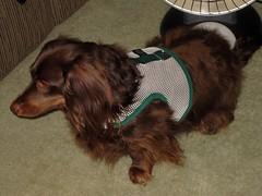 dog chien hound canine dachshund perro link wienerdog dackel teckel k9 doxie sausagedog aplaceforportraits pointyfaceddog