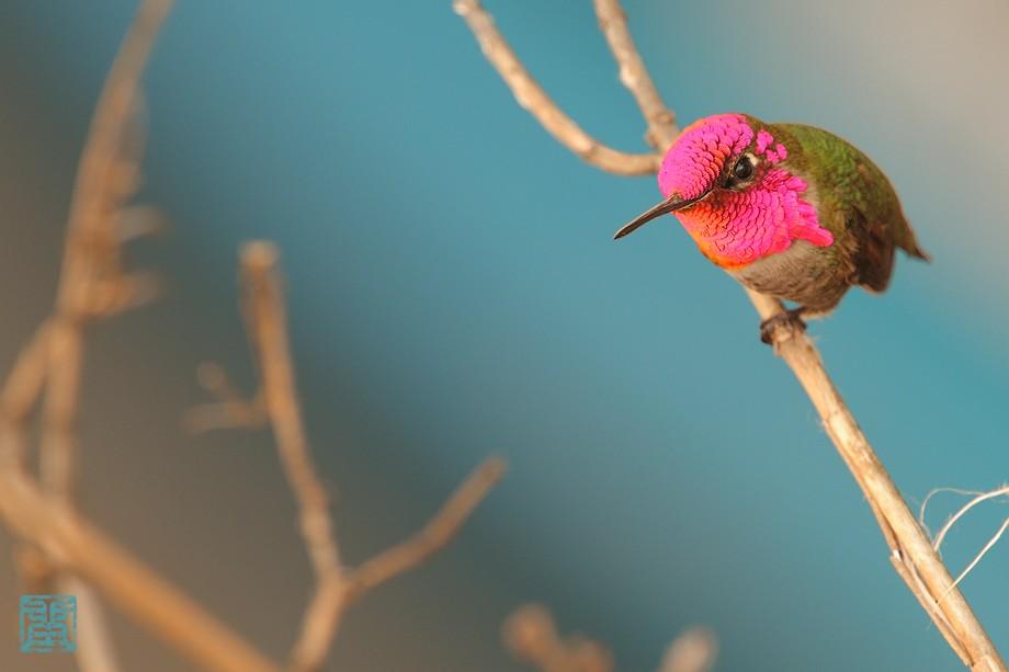Anna's Hummingbird 060211