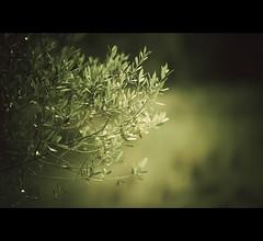 Las ramas de un olivo ... (Perolo Orero - www.orerofotografia.com -) Tags: light verde green art luz valencia photography yahoo google nikon photographer dof arte bokeh branches olive aceite manuel oil olivas olivos oliva d3 pero olivo fotografa olivares ramas aceituna krop orero orerofotografia wwworerofotografiacom
