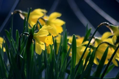Spring Daffodils by capribluegenie
