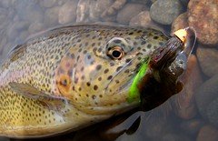chomp (justaninja) Tags: rainbow colorado flyfishing trout blueriver silverthorne