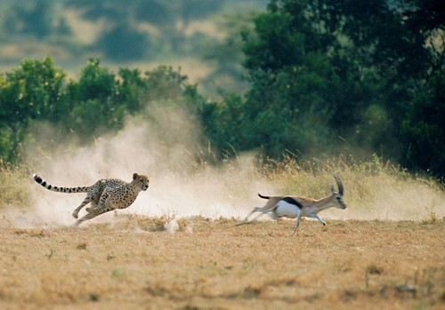 African Safari Tanzania Offers  Africa Migration Safaris Masai Mara, Lodge & Camping Safari Kenya Tanzania, Balloon Safari Kenya Camping Safaris