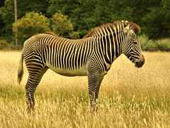 Zebra (saxonfenken) Tags: field grass animal mammal one stripes zebra 6985 friendlychallenges storybookwinner pregamewinner 985animal