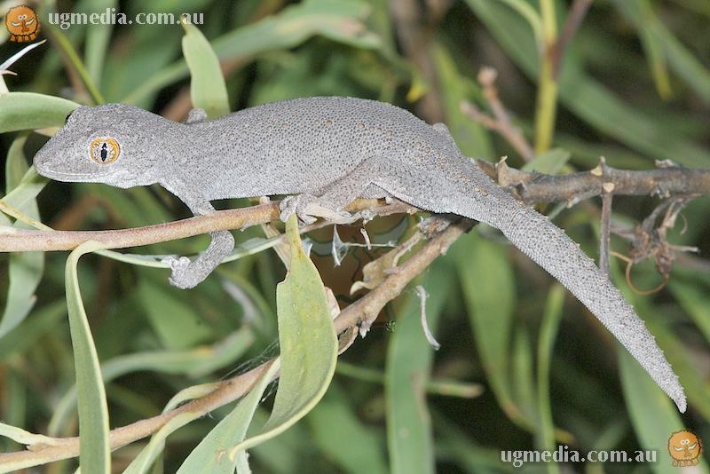 Southern spiny-tailed gecko (Strophurus intermedius)