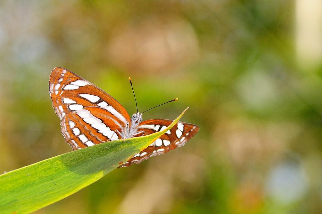 琉球三線蝶 Neptis hylas lulculenta