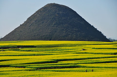 Rapeseed field  (Melinda ^..^) Tags: china sea plant flower field lines yellow pattern farm hill vegetable mel veggie melinda yunnan canola rapeseed  luoping       chanmelmel