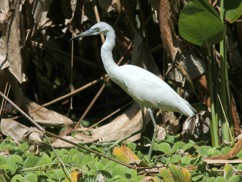 Little Blue Heron 20110313