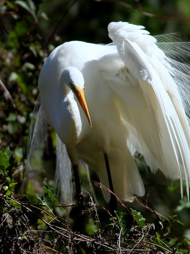 Great Egret 2-20110313