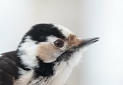 Lesser Spotted Woodpecker - Dendrocopos minor (L.Mikonranta) Tags: copyright macro bird ex nature birds canon finland eos woodpecker  apo 7d spotted 28 lm minor lesser f28 dg ringing petjvesi 150mm hsm dendrocopos birdringing denmin sigma150mm28macro pikkutikka sigma150mm28 canoneos7d sigma150mmf28exdghsmapomacro copyrightlm