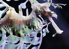 Leafy Sea Dragon - endangered species (Wilamoyo) Tags: ocean life sea color colour water beautiful up marine dragon close small tiny species barrier scarborough endangered reef creature rare sealifescarborough