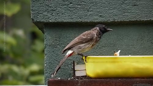 Red-vented Bulbul/Pycnonotus cafer/ ෙකාන්ඩ කුරුල්ලා