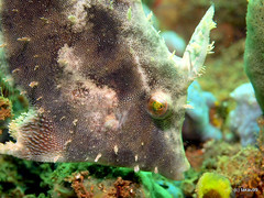 Weedy filefish - Indonesia (_takau99) Tags: ocean trip travel sea vacation holiday fish uw water topv111 pen indonesia underwater diving olympus september tropical scubadiving filefish komodo 2010 weedy takau99 penlite epl1 weedyfilefish