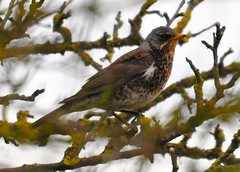 Fieldfare in an annoyingly twiggy tree