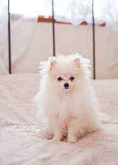 Sit Koda ({amanda}) Tags: cute puppy pom puppies nikon adorable fluffy inside pomeranian puffball 50mm18 koda amandakeeysphotography d700
