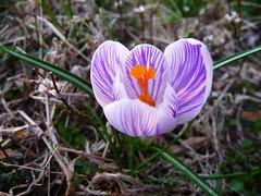 crocus (papa soji) Tags: crocus springcrocus