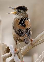 Marsh Wren 142-1 (ABERLIN2009 ~ Catch up soon.. ~) Tags: marshwren avianexcellence