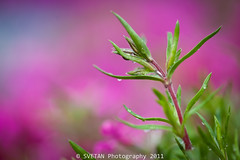 HAPPY NOWRUZ! (Marquisa -) Tags: pink flower macro closeup droplets nikon texas dof bokeh magenta houston explore heights fp frontpage nowrooz nowruz hss marquisa explored nawrooz navruz d700 svetlanavasiliadi russiantexas svetanphotography exploredmar20201124