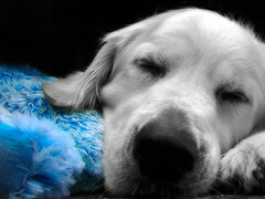 Me and my favorite blue cuddly toy (Guido Havelaar) Tags: dog chien cute dogs cane goldenretriever puppy hound perro hund pup selectivecolor sweetselectivecolor cao grcn caneimmagini fotosdoco fotosdelperro
