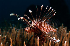 lion5079pw (gerb) Tags: fish topv111 coral topv333 underwater scuba d200 lionfish palau fins tvp aquatica 70180mmf4556dmicro