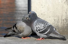 [フリー画像] 動物, 鳥類, ハト科, 鳩・ハト, カップル (動物), キス, 201103261700