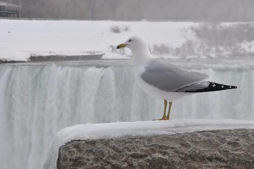 Niagara Falls -- Seagull