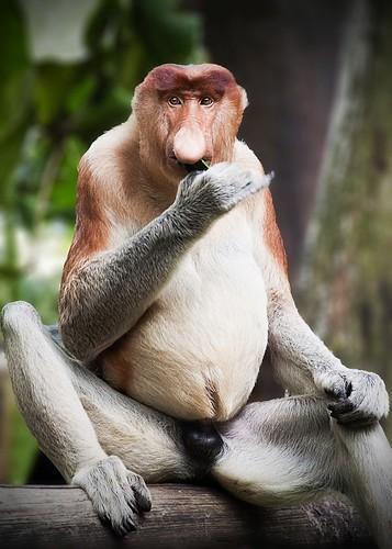 [フリー画像] 動物, 哺乳類, オナガザル科, テングザル, 201104011100