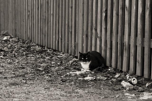 Lietuviško Šanchajaus istorijos - Katinas