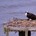091/365: Friday, April 1, 2011: Osprey (Pandion haliaetus) at York River State Park