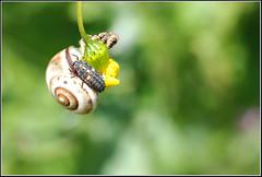 Hippodamia variegata larvae -     (Eran Finkle) Tags: macro closeup ladybird ladybug ladybeetle larvae larva coccinellidae  raynoxdcr250 hippodamiavariegata variegatedladybeetle    nikon2880mmf3356g    eranfinkle    13