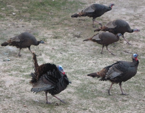 Turkeys 006