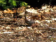 fox sparrow (tracydekalb) Tags: backyard aurora feeders foxsparrow