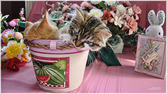 Cute Easter Kitty Cat Kittens in Home Garden Art Decor with Easter Eggs, Stuffed Bunny Rabbits & Spring Flower Basket with Daffodils & Tulips on an Easter Holiday Weekend in Canada. Cute Kitty Cat Kitten ...Kitties Cats Kittens...Cute Kitty Cat Kitten... (Chantal PhotoPix) Tags: family pink flowers decorations friends light wallpaper portrait cats pets holiday canada flower color cute rabbit bunny bunnies art nature beautiful beauty animals photoshop canon painting easter fun photography photo interestingness spring amazing funny colorful day basket purple artistic photos sweet pastel background awesome egg interestingness1 kittens best hires baskets kitties eggs tabbies felines rabbits lovely multicolored decor hdr cutecats easterbunny eastereggs homeandgarden easteregg cutekittens easterbasket easterrabbit easterbunnies easterbaskets homegarden mainecoons chantalc easterrabbits lolcats chantal777livecom