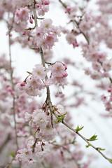 kaori sakuraの壁紙プレビュー