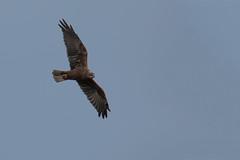 Marsh harrier (Andrew_Leggett) Tags: marshharrier circusaeruginosus birdofprey soaring soar sky bird