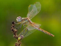 una hembra tarda (Santi BF) Tags: sympetrumfonscolombii sympetrum liblula libllula dragonfly odonato odonata aproximacin anisptero anisoptera macro