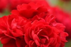 Rose 'Lilli Marleen' raised in Germany (naruo0720) Tags: rose germanrose germanrosecollection lillimarleen        macro bokeh
