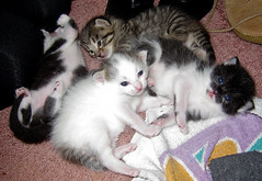 Kittens Day15-1337 (Dr DAD (Daniel A D'Auria MD)) Tags: cats babies kittens felines purring