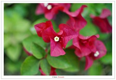 A Flower (Damon   Photography) Tags: park trip travel red flower macro green nature garden nikon dubai natural nikkor f18 damon d90 18f nikkor35mm nikond90 almamzer