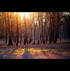 abendsonne (~janne) Tags: trees sun berlin nature 50mm spring natur olympus birch volkspark sonne bäume janne wetzlar frühling birke jungfernheide leitz janusz birken summiluxr e520 ziob
