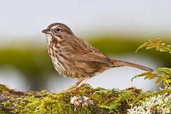Song Sparrow-mania (3 shots) (DennisDavenportPhotography) Tags: wild bird nature birds bokeh song wildlife sparrow nwr ridgefield melospizamelodia dennisdavenportphotographycom dennisdavenportphotography