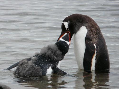 Manchots papous (gentoo penguins)