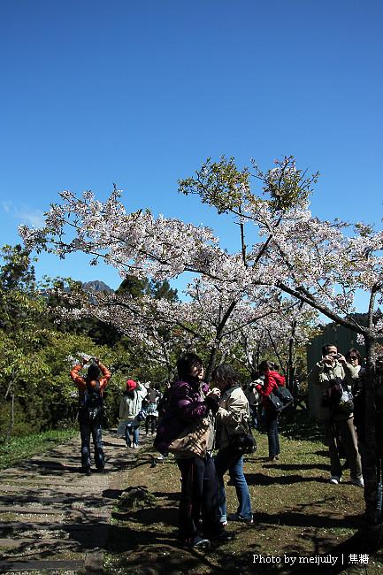 2011阿里山櫻花季晴天版15
