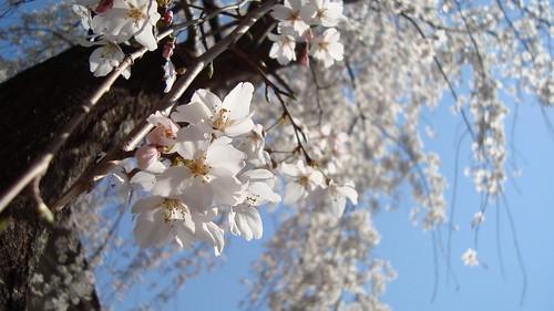 2011/04 平野神社 #03