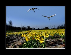 Landschap / Lente (Theo Kelderman) Tags: holland netherlands landscape nederland landschap narcissen bollenstreek bollenvelden zwanen 2011 theokeldermanphotography