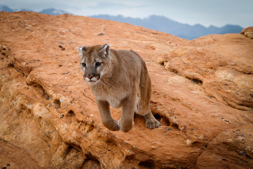 Mountain lion-4.jpg