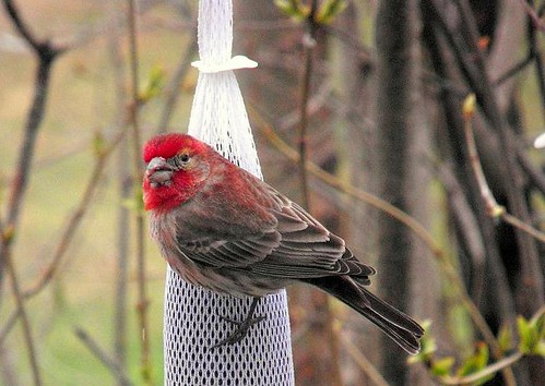 House Finch on sock feeder