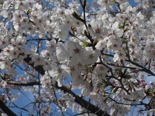 Sakura at Kandanoie
