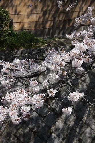 サクラ / Spring