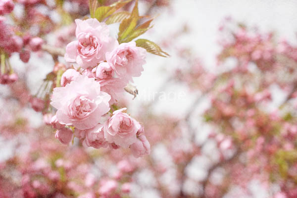 sakura, Favorite Word